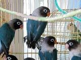 Попугай неразлучники масковые синие