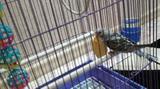Волнистый попугайчик